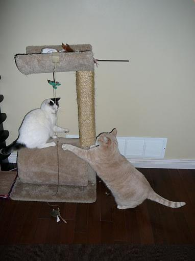 A question for cat owners-cat-fight.jpg